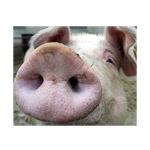Минсельхоз России: за 7 месяцев 2016 года производство свиней на убой в живом весе увеличилось на 15,2%