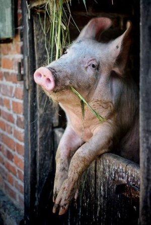 Волгоградская область: подложат ли крестьянам свинью?
