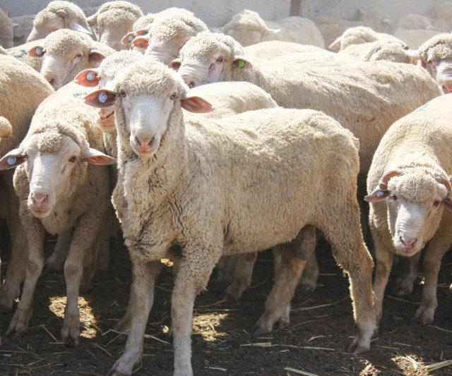 На Ставрополье вдвое увеличат производство баранины
