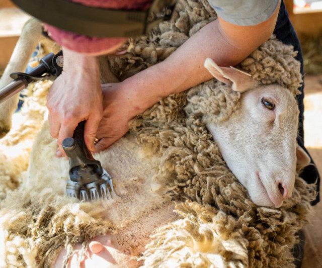 На Ставрополье в разгаре стрижка овец: получено более 280 тонн руна