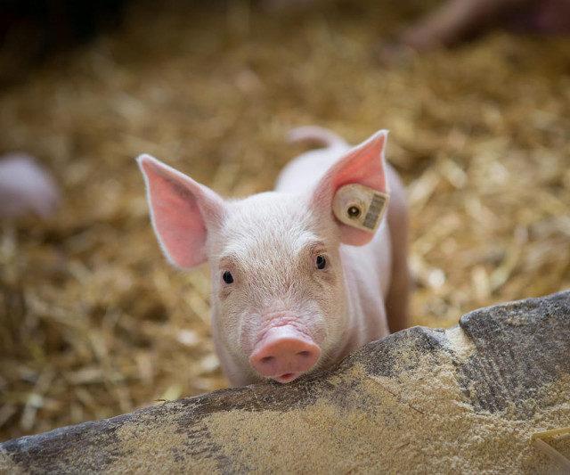 Очаг африканской чумы свиней выявлен на северо-западе Ростовской области