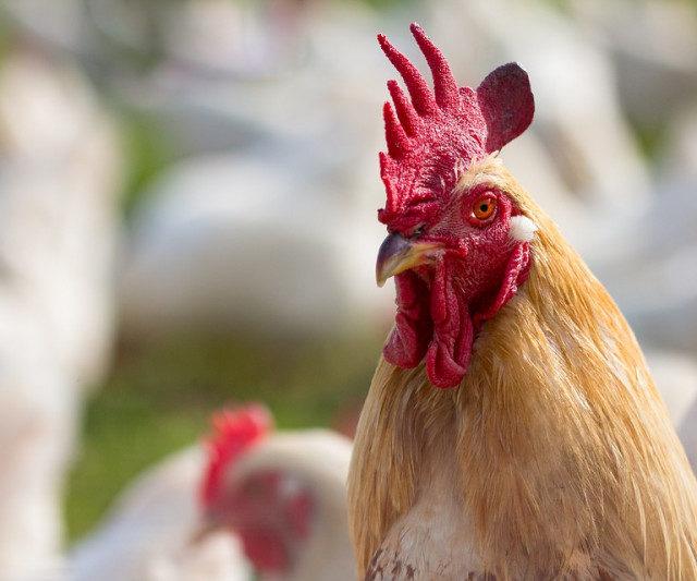 В России запатентуют первую отечественную породу мясных кур